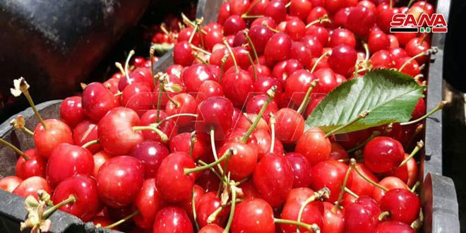 Quneitra province expected to produce 2700 tons of cherry for current season