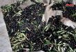 Sweida province expected to produce about 9,850 tons of olive