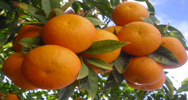 Homs production of orange estimated at 7,577 tons
