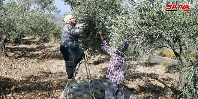 Farmers of HabNamra village in Homs countryside reap the olive trees that were not affected by fires