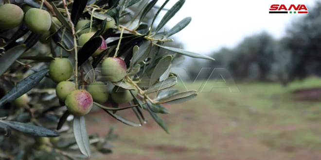 Olives harvesting in Talil village, Homs northwestern countryside