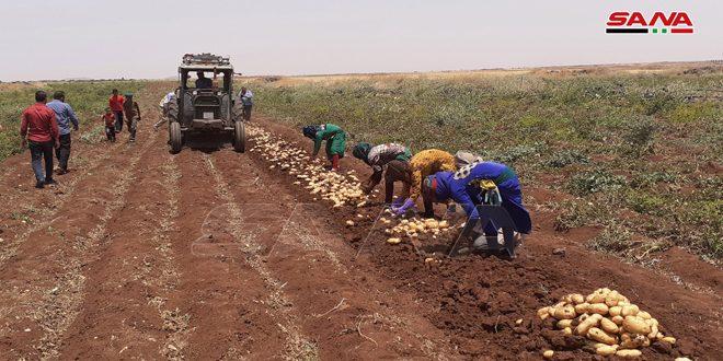 Siria estima una producción de papas superior al medio millón de toneladas