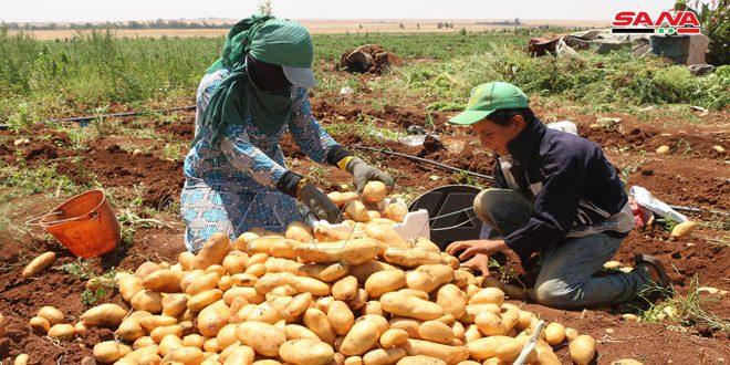 Provincia sureña de Deraa produce más de 80 mil toneladas de papas