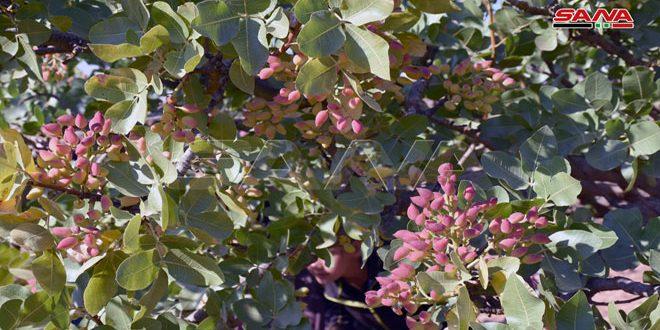 Siria produjo más de 65 toneladas de pistachos este año