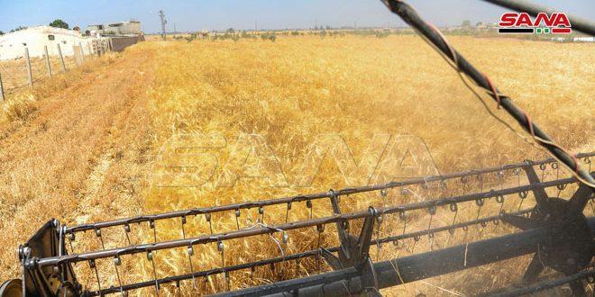 برداشت گندم از سطح 88900 هکتار از اراضی زراعی کشور