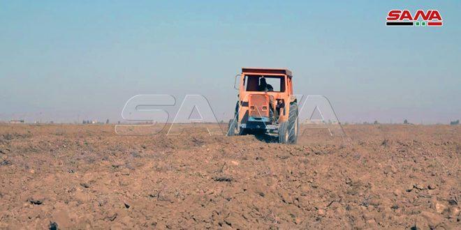 دیرالزور: کاشت 100 درصدی گندم در اراضی کشاورزی