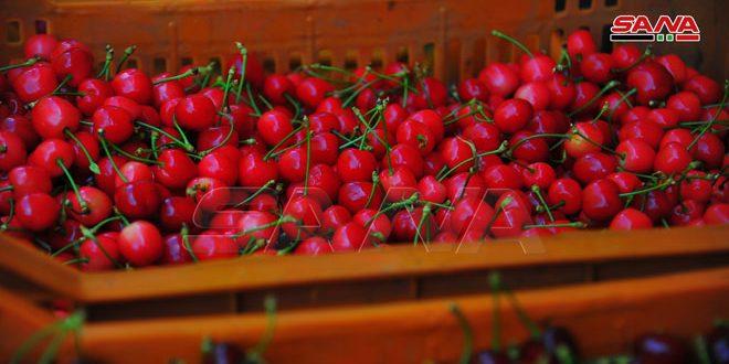 La localité de Serghaya produit cette année plus de 10 mille tonnes de cerises