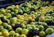 Les estimations de production d'agrumes cette année à Lattaquié atteignent 600 mille tonnes