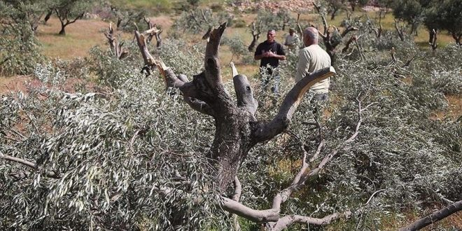 מתנחלים ישראלים עוקרים מאות עצי זית מערבית לשכם