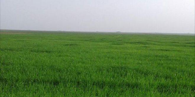 Дожди в провинции Хасаке позволят увеличить посевную площадь пшеницы и ячменя