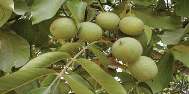 В провинции Хомс в текущем сезоне производится 1636 тонн грецкого ореха