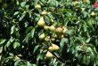 Ожидаемый урожай груш в Сувейде оценили в 1 405 тонн