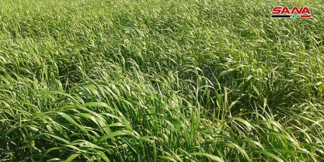 Deyrezzor Tarım Md: Kışlık Mahsül ve Sebze Ekili 3500 Hektar, Buğday Mevsimi İyi