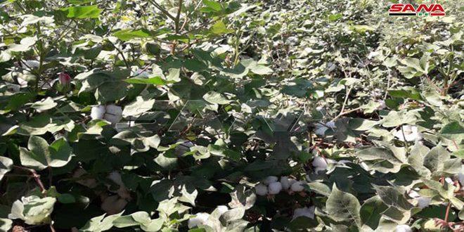 Deyrezzor ve Rakka'da Yüksek Uygulama Oranları.. 32 Bin Hektardan Fazla Pamuk Ekildi