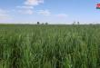 Haseke'de 742 Bin Hektardan Fazla Buğday ve Arpa İle Ekildi