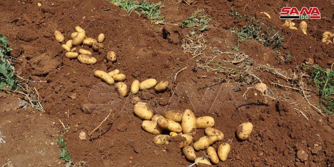 حماة.. توزيع الدفعة الأخيرة من بذار البطاطا المستوردة على الفلاحين المكتتبين