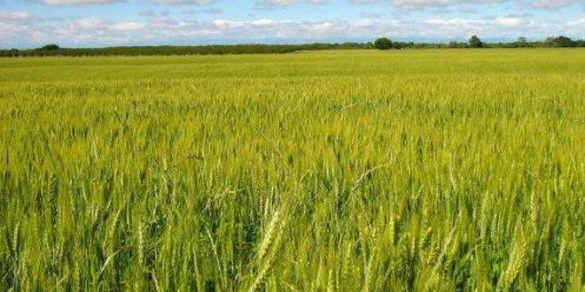 إكثار بذار الحسكة: خلو الحقول الإكثارية من الإصابات الحشرية والآفات الزراعية