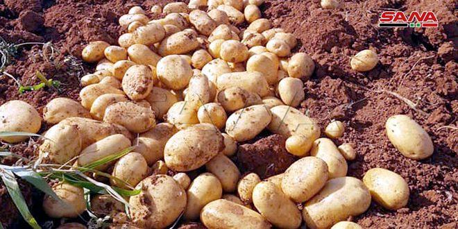 حماة.. توقعات بإنتاج 23 ألف طن من البطاطا الربيعية في منطقة الغاب