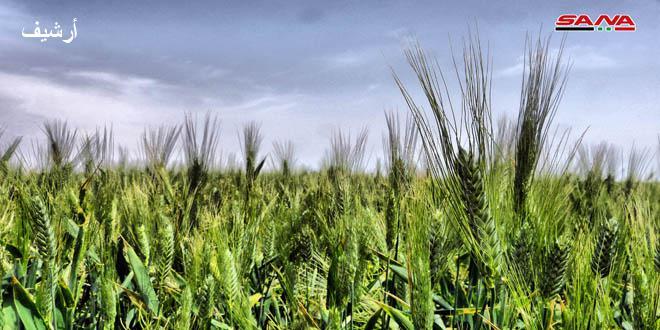 زراعة الحسكة: الحالة العامة للمحاصيل جيدة وإصابات الصدأ بحقول القمح لا تشكل خطورة