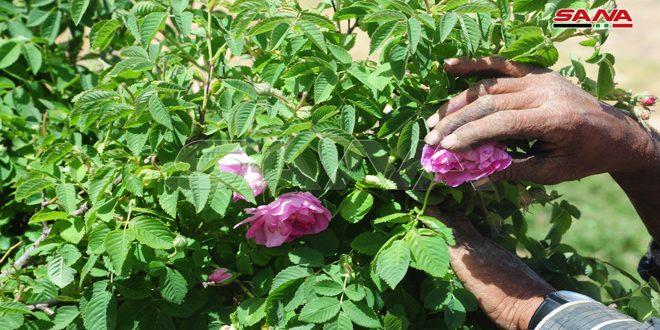 رحلة قطاف الوردة الشامية بدأت في المراح بشغف وأمل بإنتاج وفير