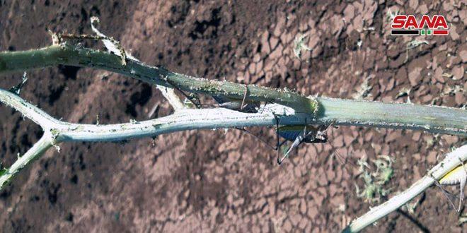 تضرر محاصيل في منطقة الغاب جراء الجراد المحلي والزراعة تؤكد توافر مستلزمات المكافحة