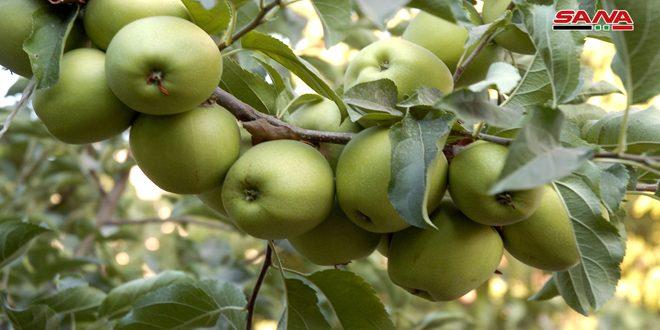 تصدير 5500 طن من تفاح السويداء إلى الأسواق الخارجية