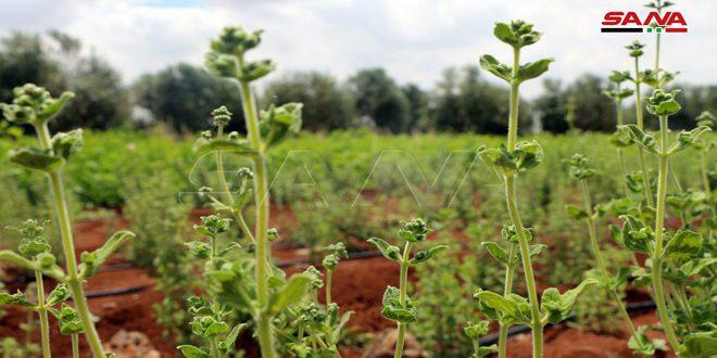 تجربة زراعة الزعتر الخليلي بدرعا… توفير فرص عمل ومصادر دخل إضافية للمزارعين