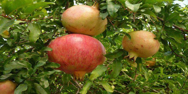 زراعة حمص تقدر إنتاج المحافظة من الرمان بـ 3927 طنا
