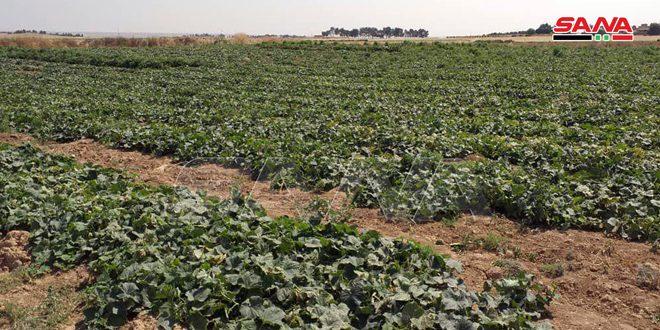 إنتاج 1850 طناً من الخضار الصيفية في الحسكة