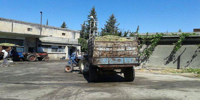 600 مليون ليرة قيمة مبيعات شركة تصنيع العنب بالسويداء خلال 6 أشهر