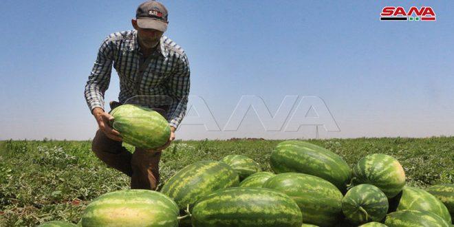 45 ألف طن تقديرات إنتاج درعا من البطيخ الأحمر