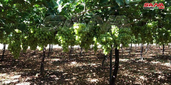 نحو 72 ألف طن تقديرات إنتاج العنب في حمص والفلاحون يطالبون بدعم التسويق
