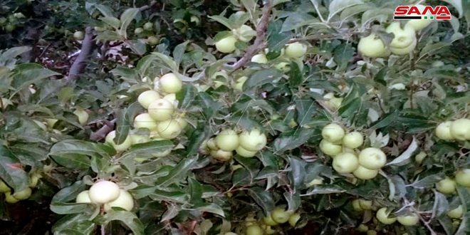 نحو 125 ألف طن تقديرات إنتاج التفاح في حمص والفلاحون يطالبون بدعم عملية التسويق