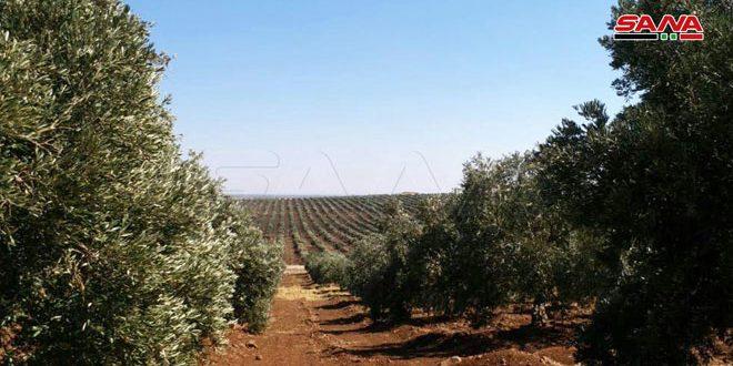 نحو 74 ألف طن تقديرات إنتاج الزيتون في حماة