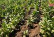 دعماً للمنتجين في منطقة الغاب بحماة.. افتتاح مركزي مؤازرة لإنتاج شتول التبغ