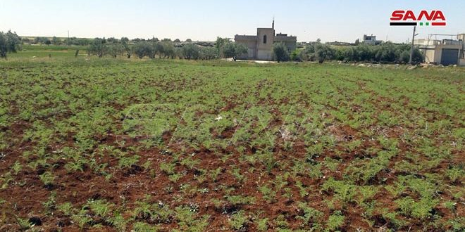 زراعة نحو 15 ألف هكتار بالحمص في السويداء و410 هكتارات بالبطيخ في درعا