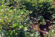 زراعة 950 هكتاراً بمحصول القطن في الحسكة