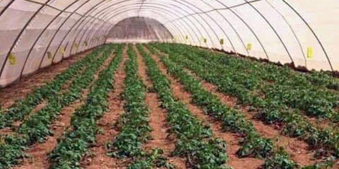 إكثار حماة ينهي عمليات جني بذار البطاطا المنتجة في البيوت الشبكية