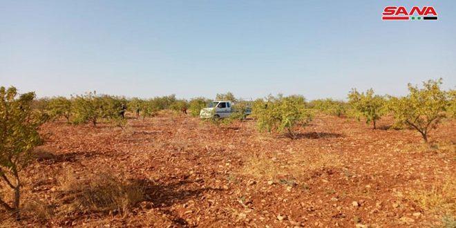 مزارعو حمص يبدؤون قطاف اللوز… وانخفاض تقديرات الإنتاج نتيجة الصقيع