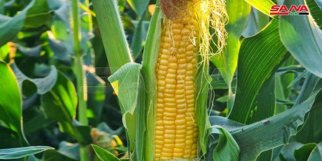 تحديد سعر شراء طن الذرة الصفراء من الفلاحين
